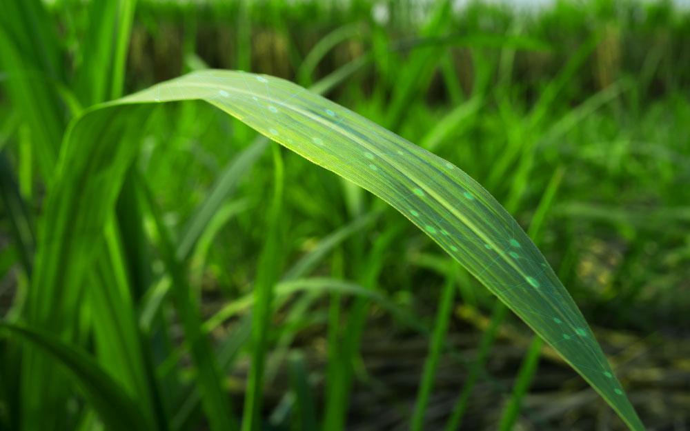 Como a cicloheptose age no interior da planta?