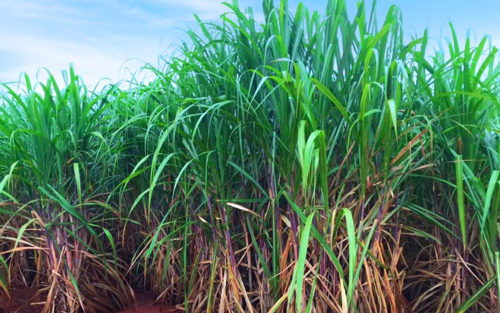 Pré-maturador no manejo da cana aumenta até 930kg ATRh